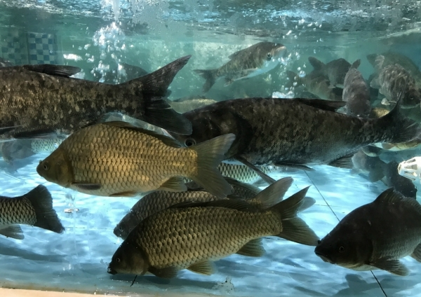 草鱼饲料投喂频率及投喂水平的影响